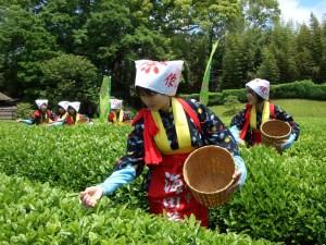 Японская чайная плантация