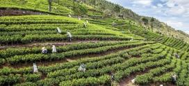 Чайные плантации Цейлона. Лумбини. Регион Рухуна.