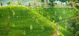 Чайные плантации Цейлона. Пототува. Регион Рухуна.