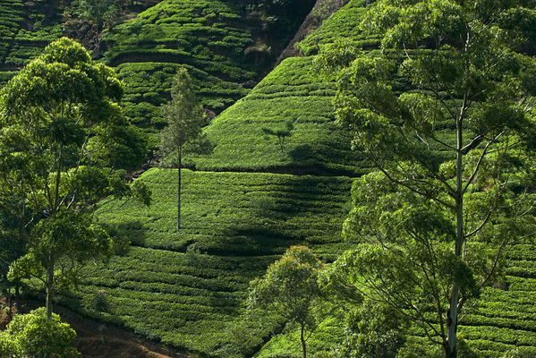 Чайные регионы Цейлона. Ува.