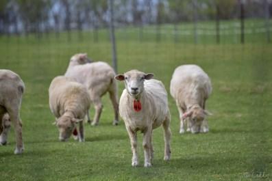見つめる羊