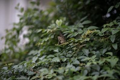 アゲハ蝶2