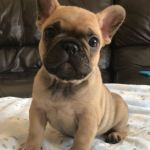 Fawn Female French Bulldog For Sale Online Near Me