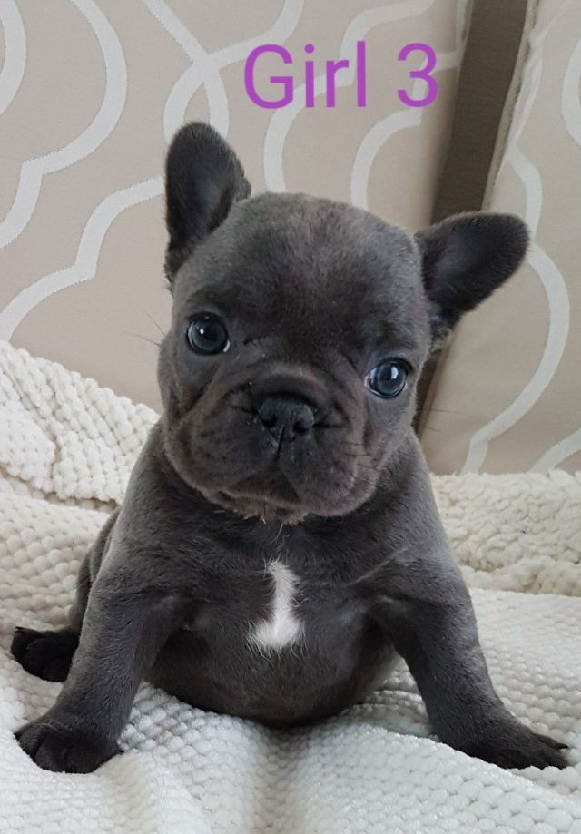 beautiful blue french bulldog girls ready now