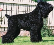 BlackRussianTerriers