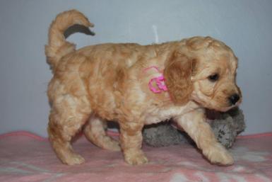Candy-klein-pupies-5-weeks-009