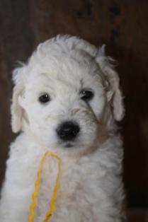 CocoBongo-pupies-F1B-5-weeks-049