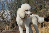 Poodle (Toy, Min, Std)