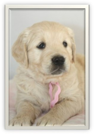 Golden Retriever puppy- age 6 weeks