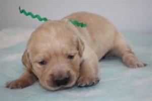 Golden Retriever puppy- age 2 weeks