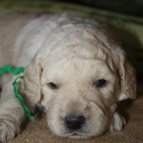 F1B-puppies-25-weeks-020