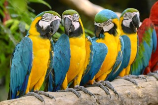 A group of Blue and Gold Macaws enjoying the day.