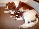 A female kooiker and her new born puppies