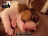 A kooiker puppy asleep