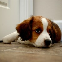 Why Choose A Kooiker? Info on Kooikerhondje personality