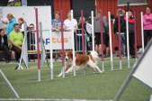 Phoenix-Shila Van Youngmuskyteira weaves through the agility poles.