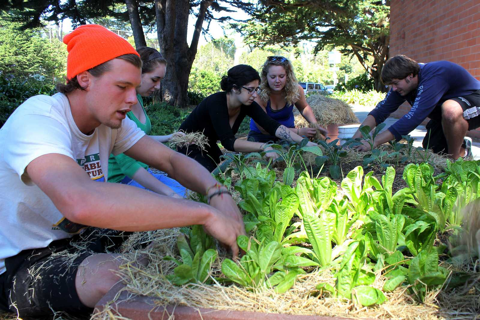 Tyler Wescott, Audrey Janner, Sahar Navid, Morgan Kelley, and Michael Todd of ECO Students add straw to garden beds at the community garden behind Mary Park Hall Sunday Sept. 15, 2013.  ECO Students began growing vegetables and herbs behind Mary Park Hall after learning that the planters were not being used. Photo by Ryan Leibrich / Xpress
