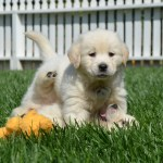 White Golden Retrievers For Sale Golden Meadows Retrievers