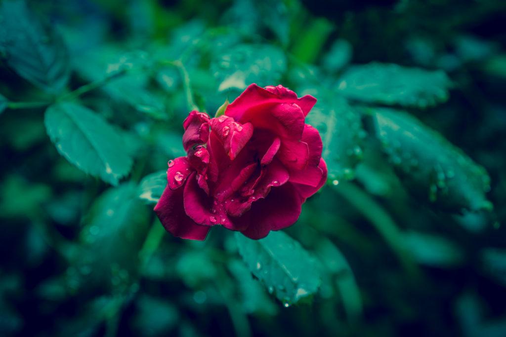 dark-leaves-raindrops-rose