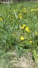 yellow dandelions in a yard ©K.HAZAMY PHOTOS