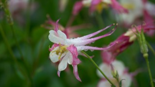 Columbine | Golden State Botanicals