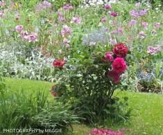 Monets trädgård - pioner och rosa i bakgrund