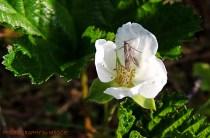Cloudberry flower 2