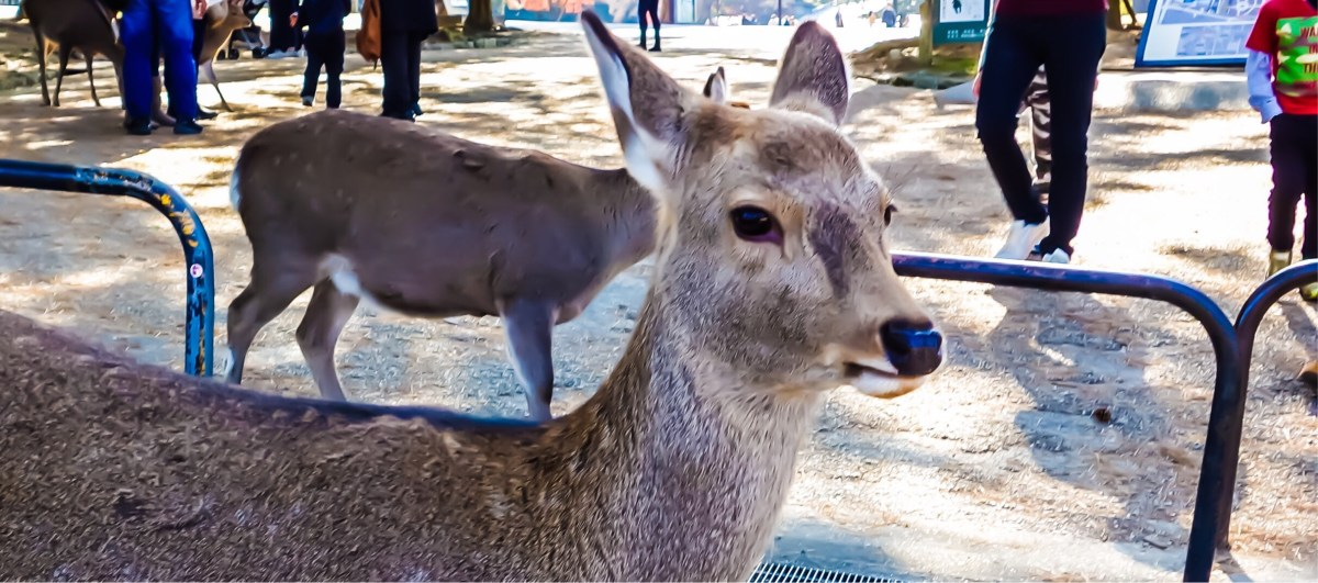 A Day Trip To Nara From Osaka
