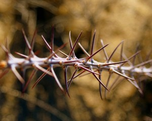 Everything has spikes in Joshua Tree.
