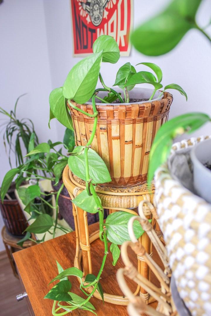 DIY eigene Ableger des Goldenen Pothos (Efeutute) machen