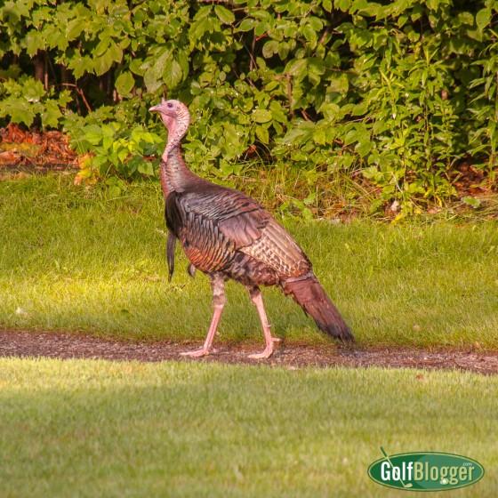 turkey-3926