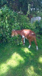 radrick goats 2