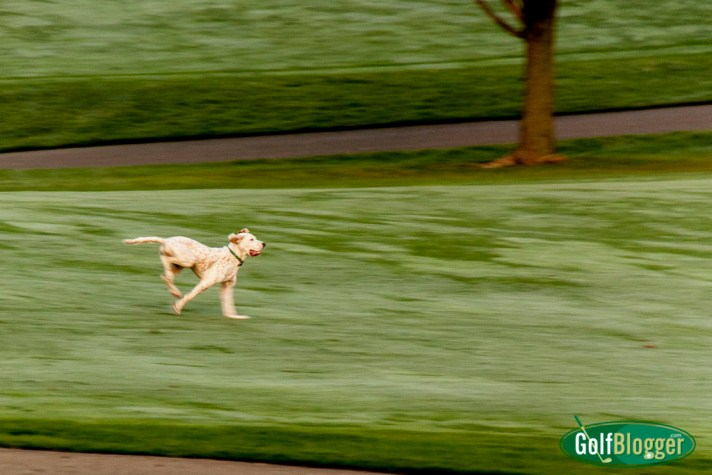 Golf Course Dogs Are The Happiest Creatures On Earth