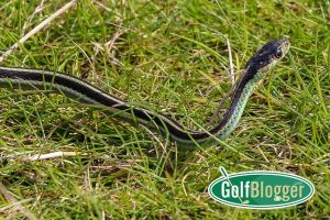 Snake In The Grass At Bandon Dunes, Oregon