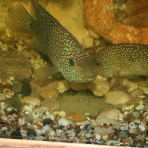 Pearl Scale Cichlid