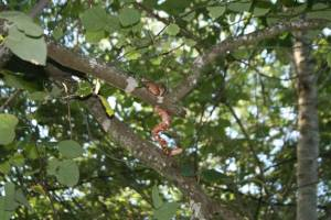 Copperhead in Tree