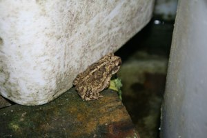 Gulf Coast Toad, Bufo valliceps