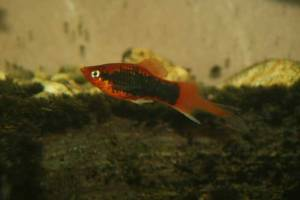 Male Red Tuxedo Plumetail Platy