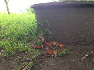 Copperhead Eating a Cicada