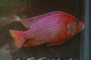 Dragon Blood Peacock Cichlid