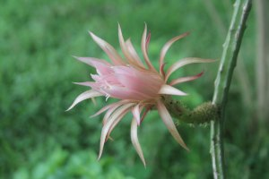 Photo of a flower of Selenicereus spinulosus, a climbing cactus from Texas.