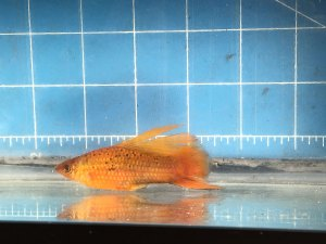 Photo of a first generation Red Freckled Hifin Swordtail resulting.