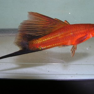 Photo of a male hifin redwag swordtail.