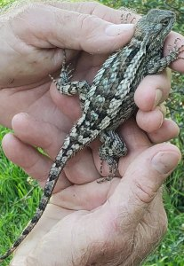 Photo of a female Sceloporus olivaceous (Texas spiny lizard) full of eggs and, therefore easy to catch.