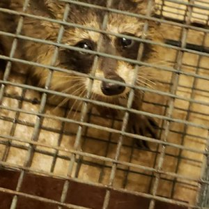 Photo of a young raccoon (Procyon lotor) in a live trap. This was one of 13 raccoons trapped in and around our greenhouses during a five-week period.