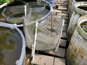 Photo of a cichlid fry cage with two aquaculture mesh cichlid hotels inside.