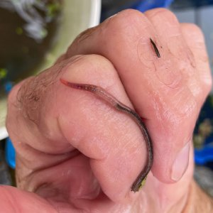"Photo of Diplocardia ornata, one of our two species of ""vat worms"" crawling on a finger."