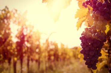 vineyard-grapevine