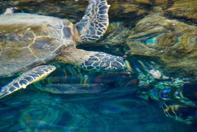 A sea turtle in Kona harbor