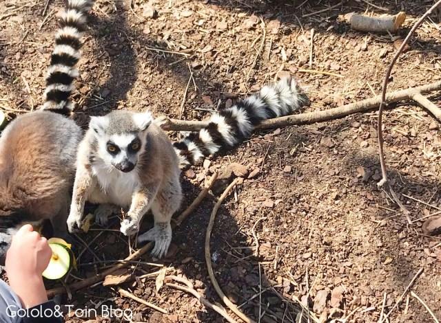Dar de comer a lémures en Faunia
